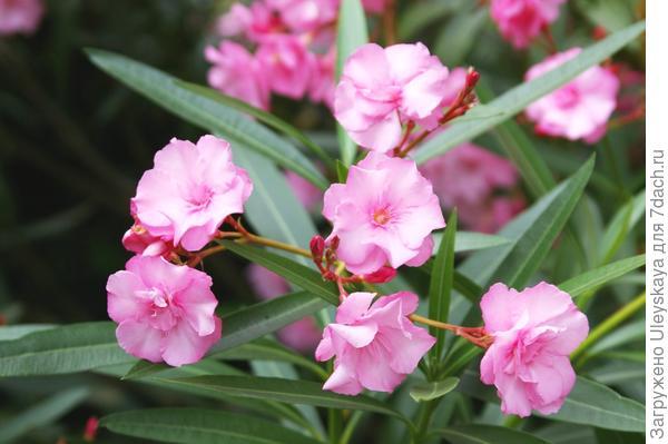 Олеандр со светло розовыми цветками