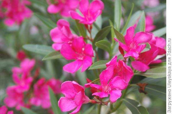 Олеандр с ярко розовыми цветками