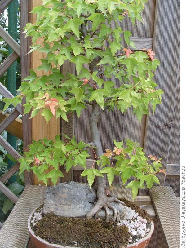 Клен трехлопастный, 23 года, стиль Sekijoju или дерево на камне