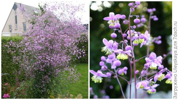 Василистник Делавея Splendide, фото сайта Allan Becker – Garden Guru и соцветие крупным планом, фото сайта Dorset Perennials