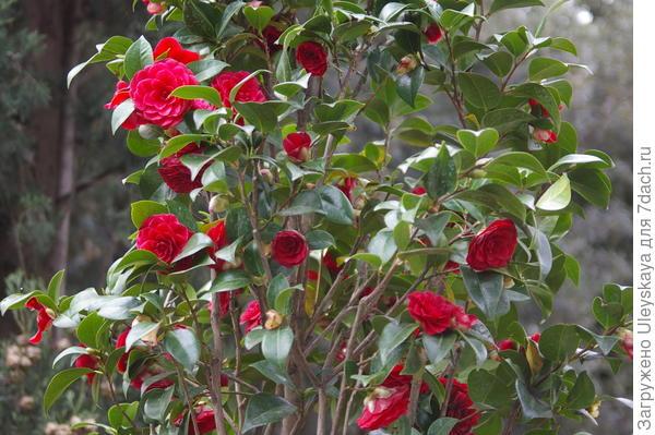 Цветет камелия японская в Партените, фото автора