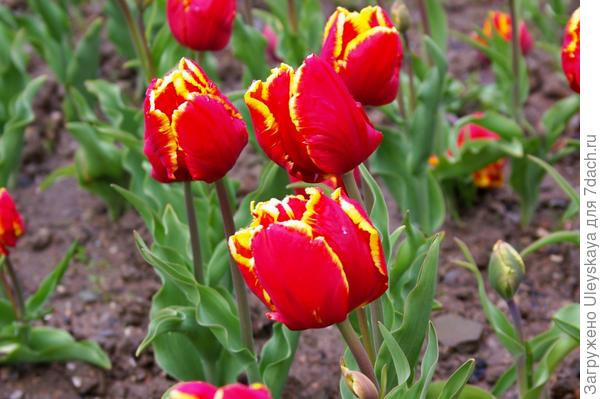 Тюльпан садовый, сорт Bright Parrot, фото автора