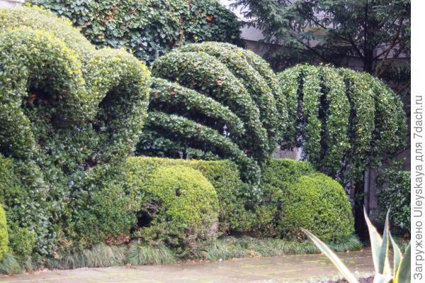 Топиарные формы лавра благородного, фото автора