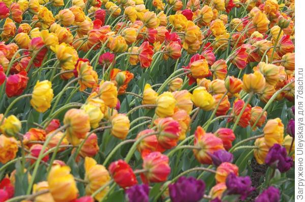 Тюльпан садовый Monte Flame, фото автора