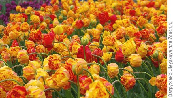 В Крыму цветут тюльпаны, фото автора