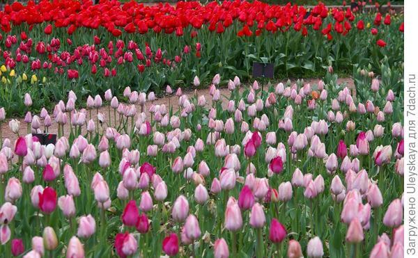 Тюльпаны в Саду, фото автора