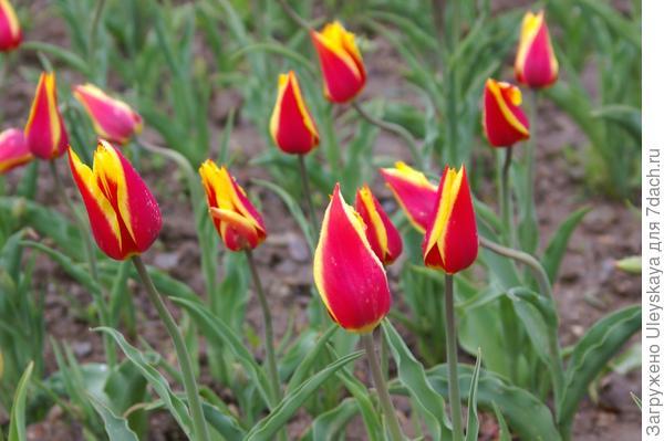 Тюльпан садовый Ballada Dream, фото автора