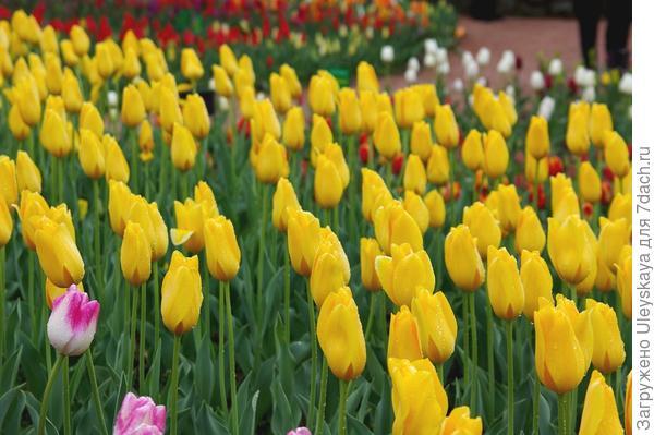 Голландские тюльпаны в Крыму, фото автора