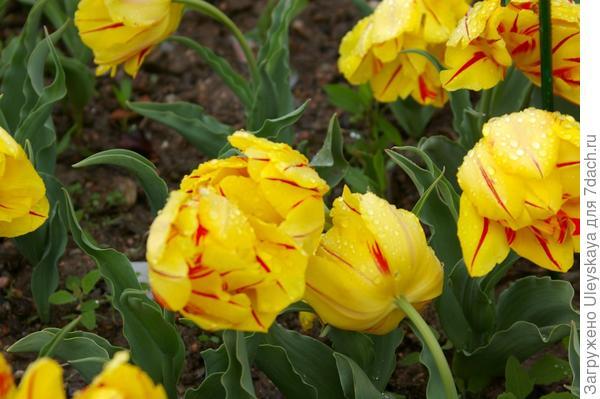 Тюльпан садовый Monte Feu, фото автора