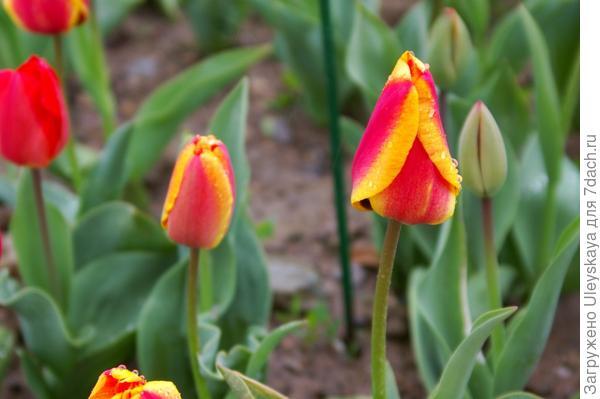 Тюльпан садовый, сорт Apeldoorns Elite, фото автора