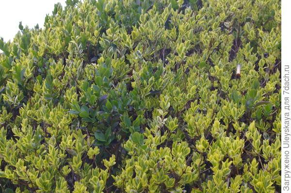 Зеленые побеги портят внешний вид рядовой посадки, фото автора