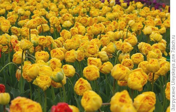 Тюльпан садовый Monte Peony, фото автора