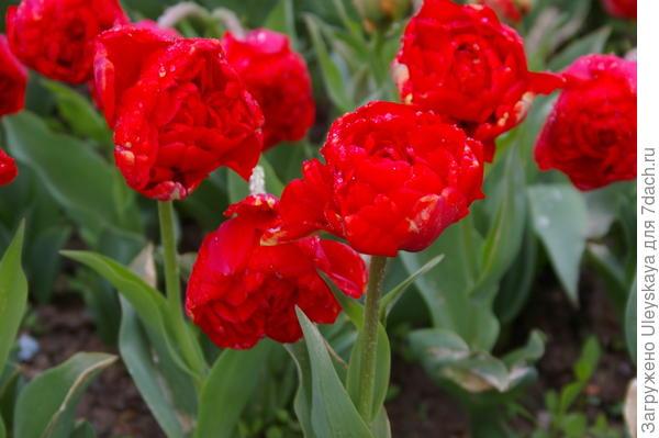 Тюльпан садовый отечественный, сорт Красный Махровый, фото автора