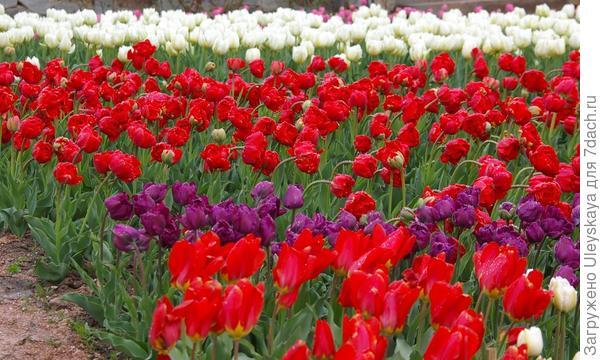 Цветут тюльпаны в Никите, фото автора