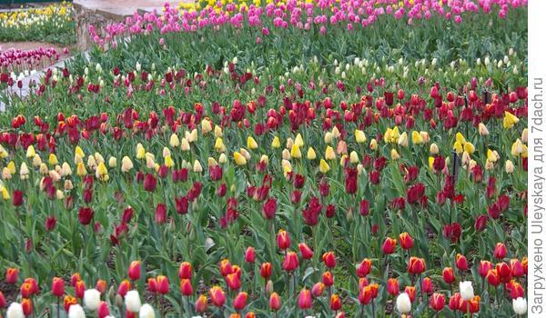 Тюльпанное поле в Никите, фото автора