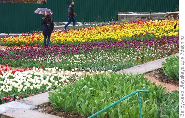 Не мне одной дождь не помешал любоваться тюльпанами, фото автора