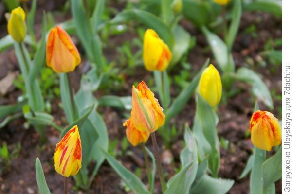 Тюльпан садовый, сорт Generaal de Wet, фото автора