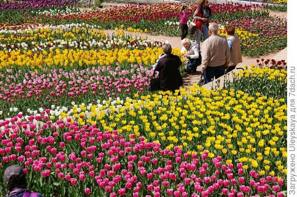 Тюльпанное поле 12 апреля этого года