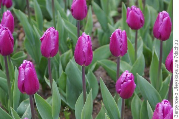 Тюльпан садовый, сорт Purple Flag, фото автора