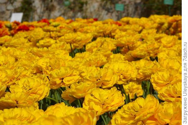 Тюльпан садовый, сорт-новинка Monte Peony, фото автора