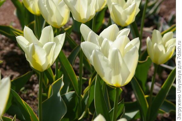 Тюльпан садовый, сорт Purissima Design в цветении, фото автора