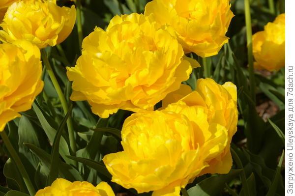 Тюльпан садовый, сорт Monte Sweet во всей своей красе, фото автора