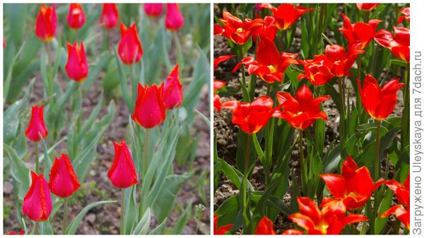 Тюльпан садовый, сорт Ballade Orange, фото автора