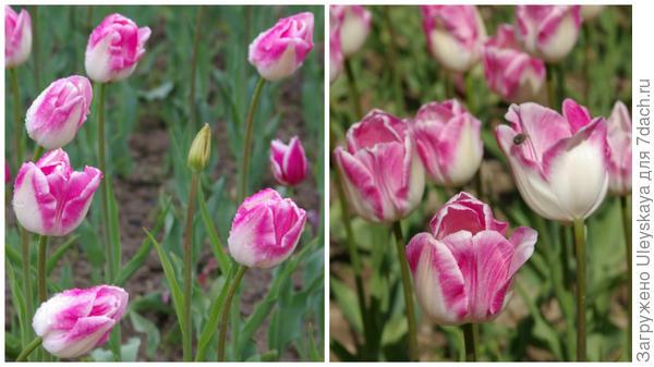Тюльпан садовый, сорт First Class, фото автора