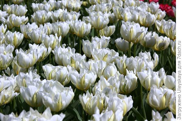 Тюльпан садовый, сорт-новинка Up White, фото автора