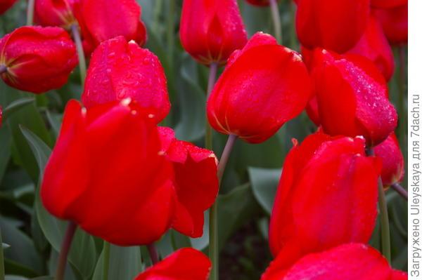 Тюльпан садовый, сорт Lalibela