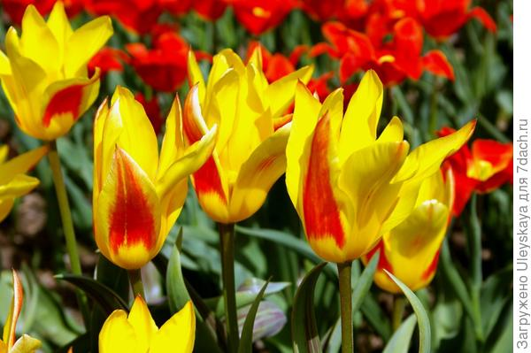 Тюльпан садовый, сорт Flaming Bayside, фото автора