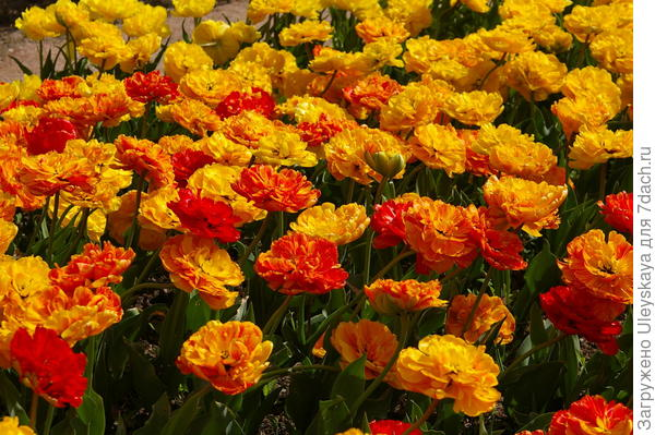 Тюльпан садовый, сорт-новинка Monte Flame, фото автора