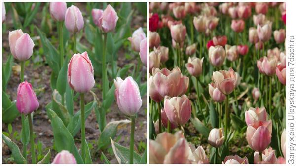 Тюльпан садовый, сорт Apricot Impression, фото автора