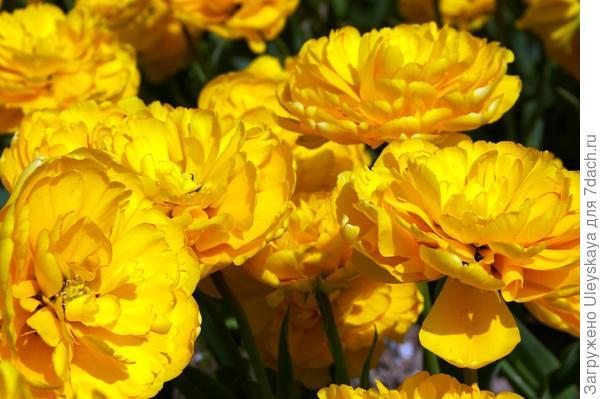 Тюльпан садовый, сорт Monte Peony, фото автора