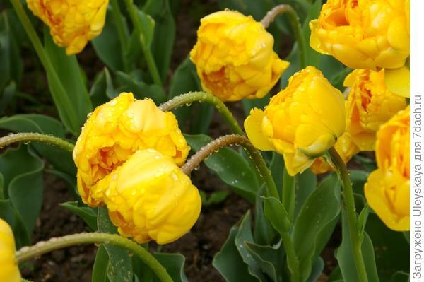 Тюльпан садовый, сорт Monte Sweet после дождя, фото автора