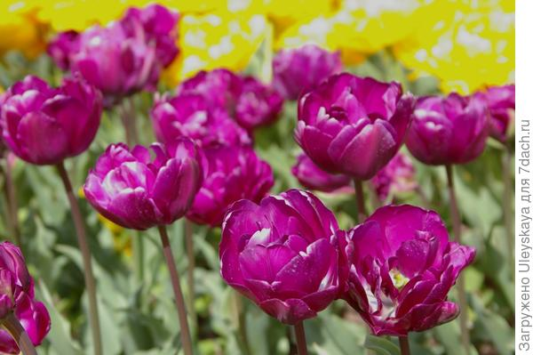 Тюльпан садовый, сорт Purple Peony, фото автора