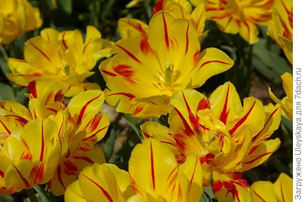 Тюльпан садовый, сорт Monte Feu, фото автора