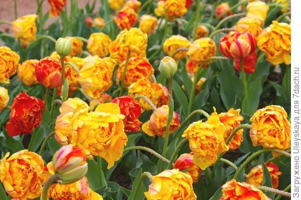 Тюльпан садовый, сорт Monte Flame, фото автора