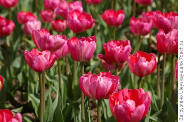Тюльпан садовый Up Pink, фото автора