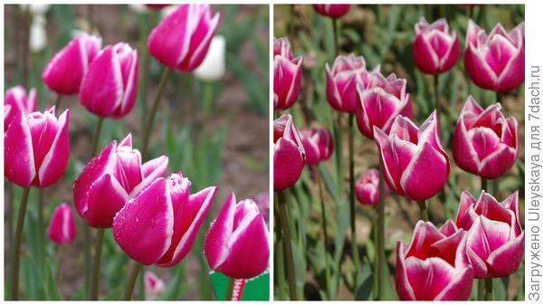 Тюльпан садовый, сорт Leo Visser