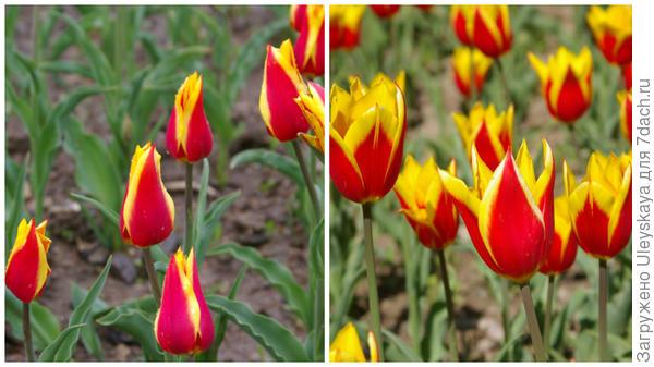 Тюльпан садовый, сорт Ballada Dream, фото автора