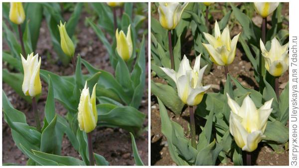 Тюльпан садовый, сорт Lilysweet, фото автора