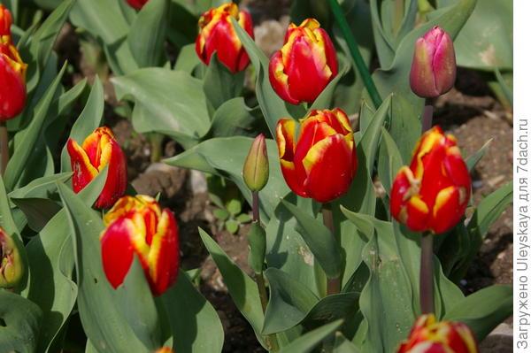 Тюльпан садовый, сорт Andre Citroen, фото автора