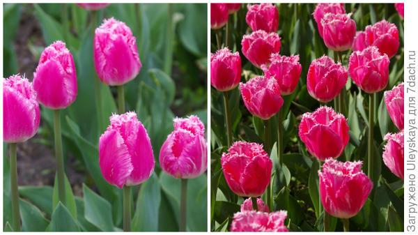 Тюльпан садовый, сорт Cacharel, фото автора