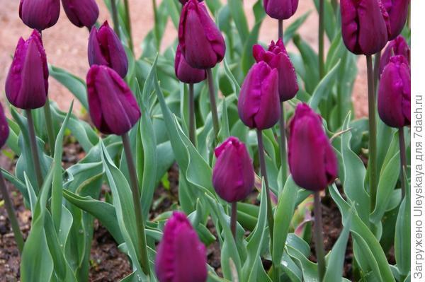 Тюльпан садовый Purple Bouquet в бутонизации, фото автора