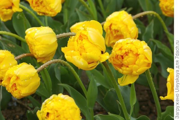 Тюльпан садовый, сорт Monte Peony после дождя, фото автора