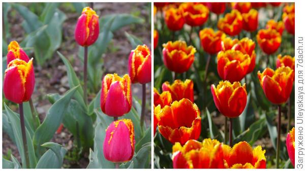Тюльпан садовый, сорт Crispy Artair, фото автора