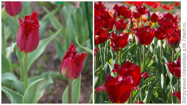 Тюльпан садовый, сорт Black Jewel, фото автора