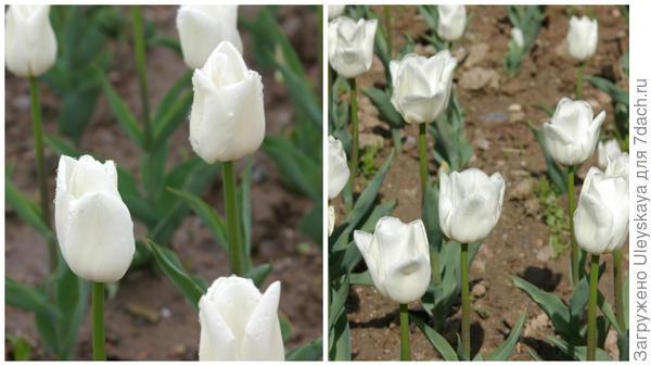 Тюльпан садовый Update, фото автора