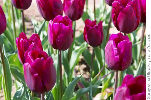 Тюльпан садовый Purple Bouquet в полуроспуске, фото автора